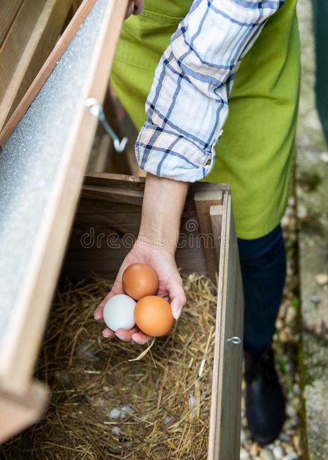 Unrecognisable woman collecting free range eggs from chicken house. Egg laying hens and young female farmer. Healthy eating. royalty free stock images