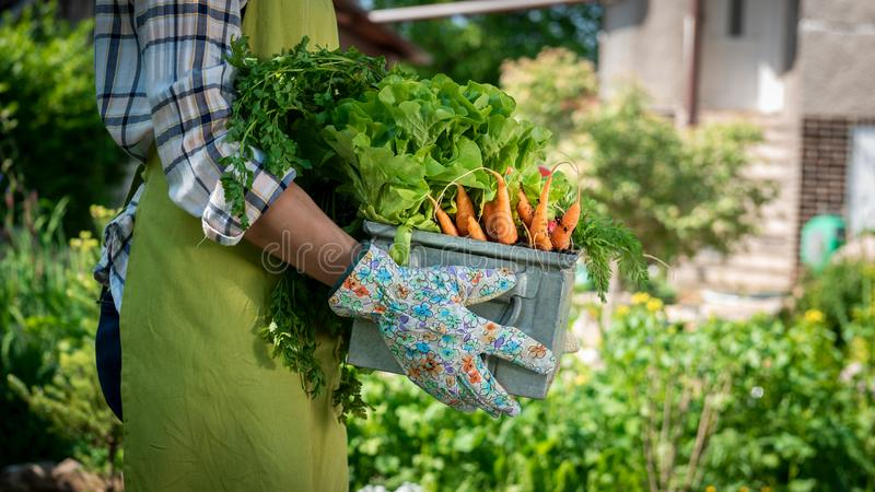 Unrecognizable żeńska średniorolna mienie skrzynka pełno świeżo zbierający warzywa w ona ogrodowa Wyprodukowany lokalnie życiorys fotografia stock