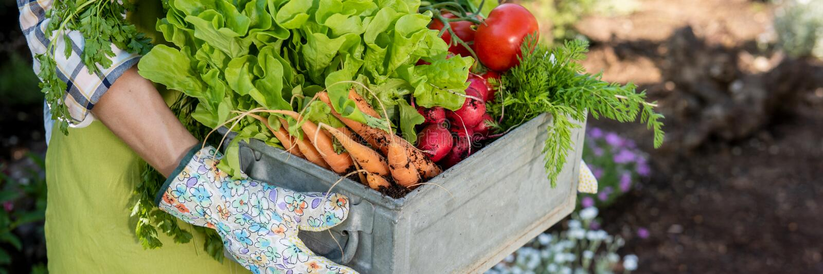 Farmer holding crate full of freshly harvested vegetables in her garden. Homegrown bio produce concept. Sustainable living. Unrecognizable female farmer holding royalty free stock images