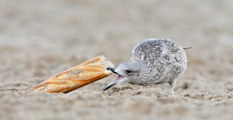 Unreife Möve, die Brot isst lizenzfreie stockbilder