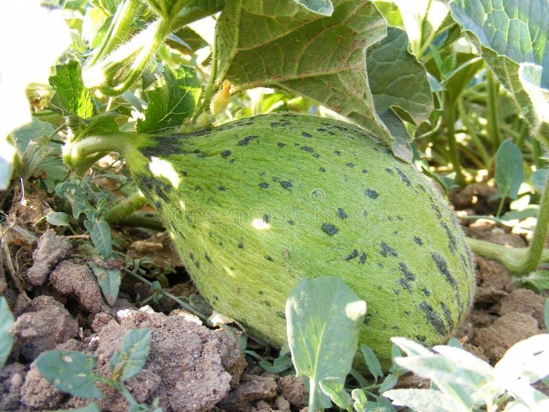 Unreife Melonenbilder auf dem Gebiet für Werbungen von Fruchtproduzenten stockbilder