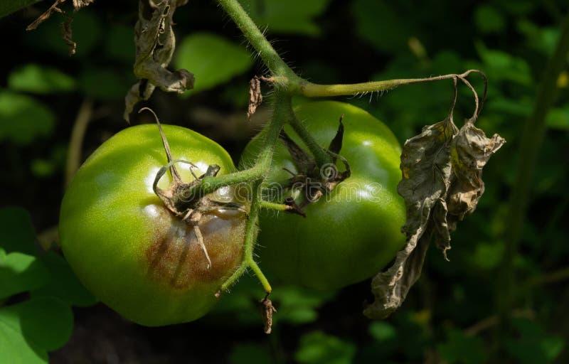 Unreife Tomaten, die durch das späte Licht betroffen sind Phytophthora stockfotos