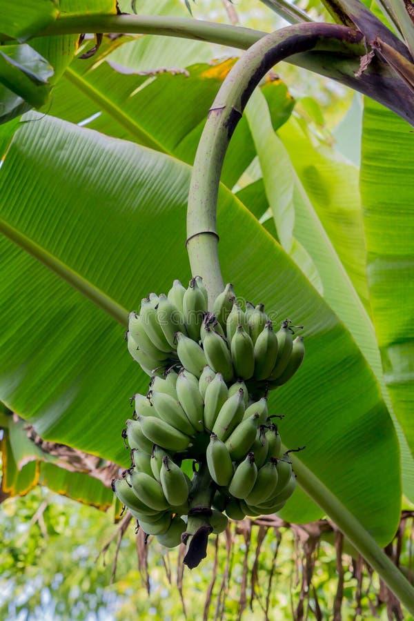 Unripe μπανάνες στη ζούγκλα, Ταϊλάνδη στοκ εικόνες με δικαίωμα ελεύθερης χρήσης