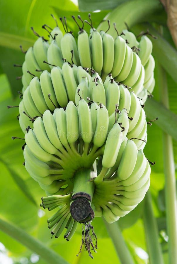 Unripe μπανάνες στη ζούγκλα στοκ φωτογραφία