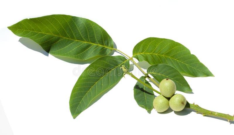 unripe ξύλα καρυδιάς walnut στοκ φωτογραφία