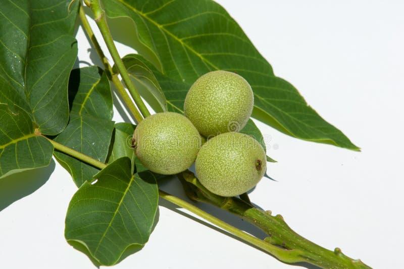 unripe ξύλα καρυδιάς walnut στοκ φωτογραφίες
