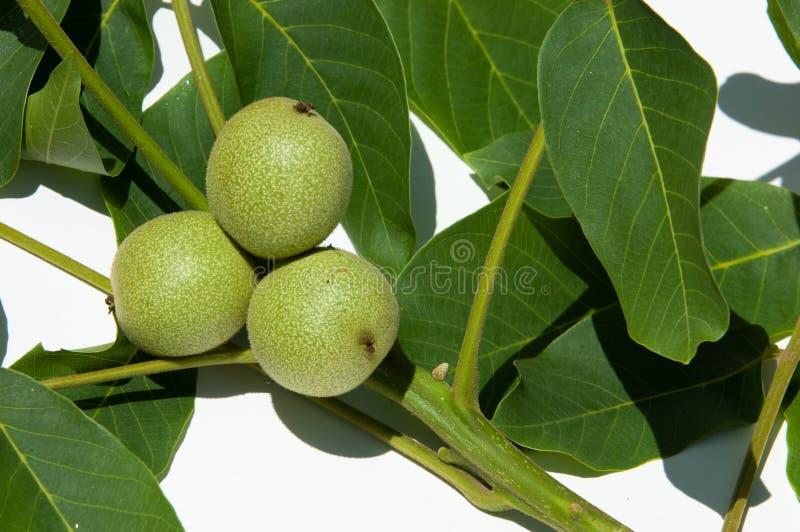 unripe ξύλα καρυδιάς walnut στοκ εικόνα με δικαίωμα ελεύθερης χρήσης