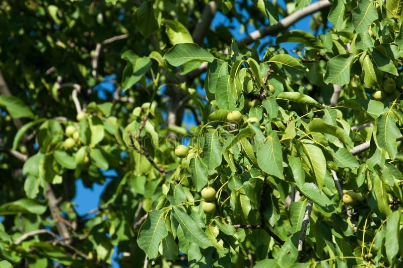 unripe ξύλα καρυδιάς walnut στοκ εικόνα