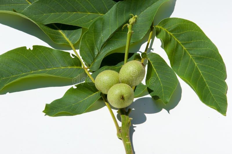 unripe ξύλα καρυδιάς walnut στοκ εικόνες με δικαίωμα ελεύθερης χρήσης