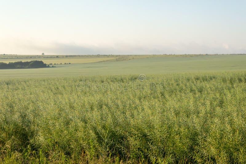 Unripe σπόροι του βιασμού υγροί της βροχής πρωινού κάτω από το φως του ήλιου Τομέας του πράσινου ripeness βιασμού ελαιοσπόρων στοκ φωτογραφία