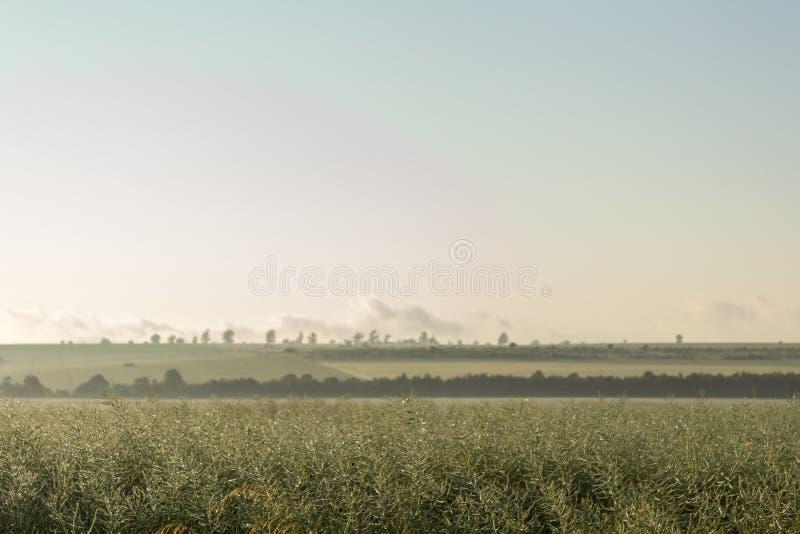 Unripe σπόροι του βιασμού υγροί της βροχής πρωινού κάτω από το φως του ήλιου Τομέας του πράσινου ripeness βιασμού ελαιοσπόρων στοκ φωτογραφίες με δικαίωμα ελεύθερης χρήσης