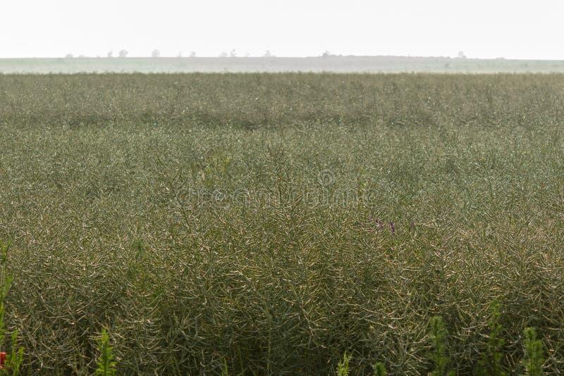Unripe σπόροι του βιασμού υγροί της βροχής πρωινού κάτω από το φως του ήλιου Τομέας του πράσινου ripeness βιασμού ελαιοσπόρων στοκ φωτογραφία με δικαίωμα ελεύθερης χρήσης