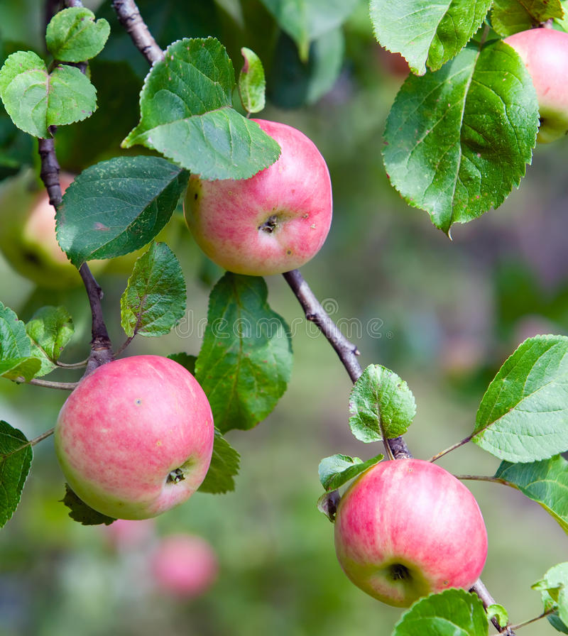 The unripe apples on apple-tree branches. Close up in a sunny day royalty free stock photos