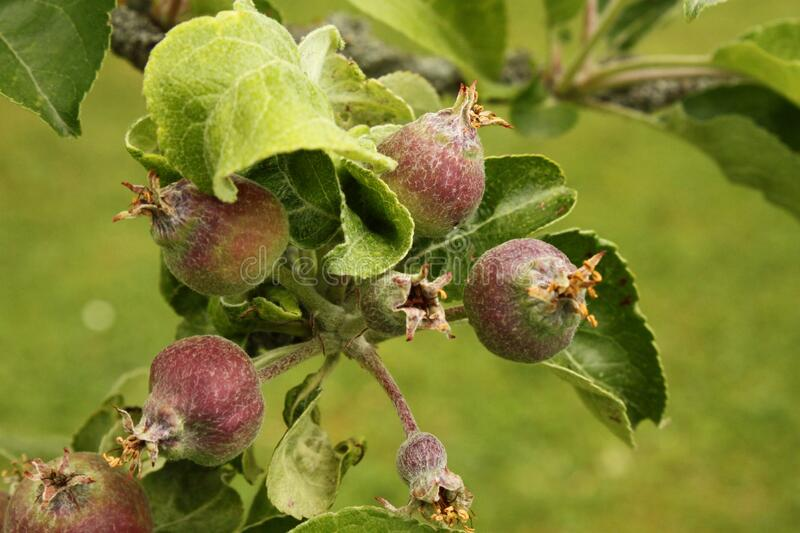 Unripe apples on a apple tree. The picture shows unripe apples on a apple tree stock photography