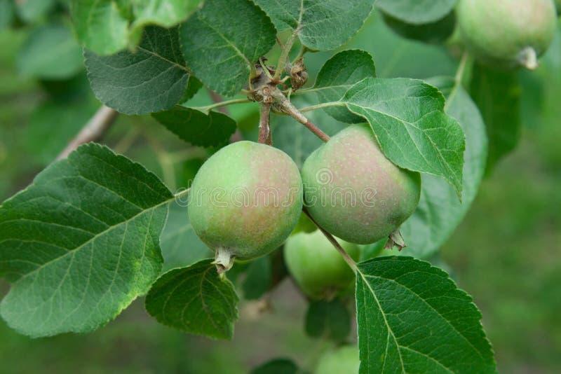 Unripe apples grow on an apple tree.  stock photo