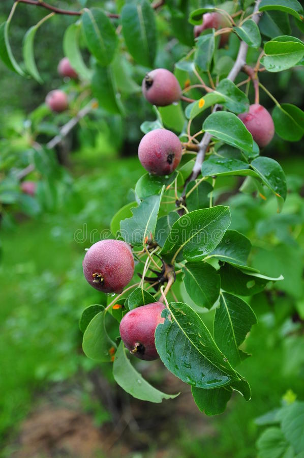 Download Unripe apples on tree stock photo. Image of appletree - 21203700