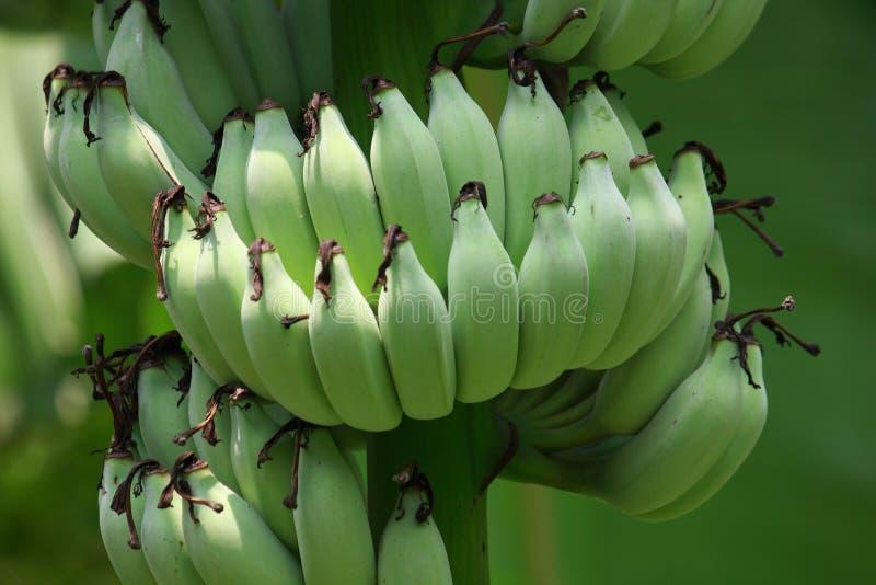 unripe banan royaltyfri fotografi
