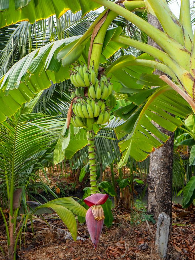 The unripe banana on its tree stock image