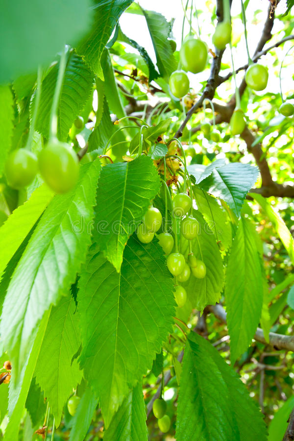 Unripe berries cherries royalty free stock photo