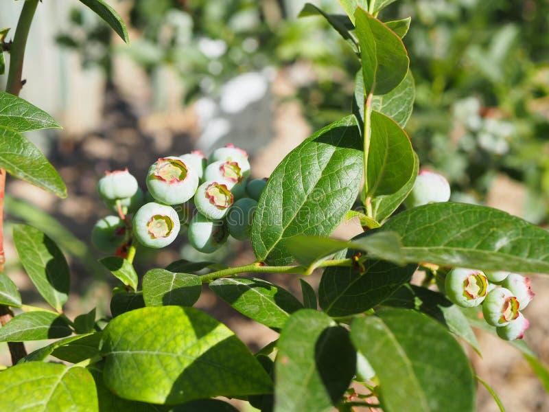 Unripe bilberry, green plant in garden. Unripe bilberry, green blueberries plant in garden royalty free stock photography