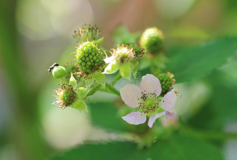 Unripe blackberry. And its flower stock photos