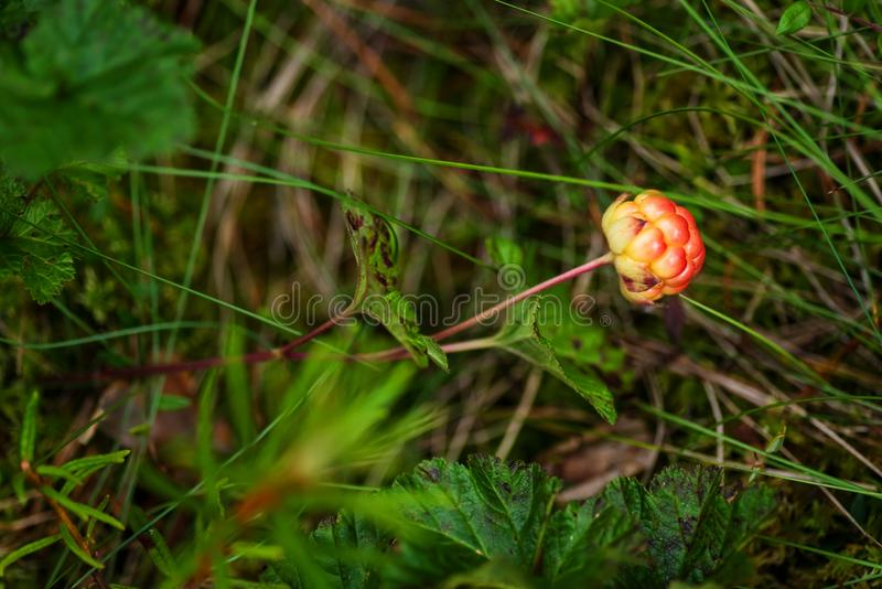 Unripe cloudberry in in a marsh. Unripe boreal cloudberry Rubus chamaemorus in a finnish marsh royalty free stock photography