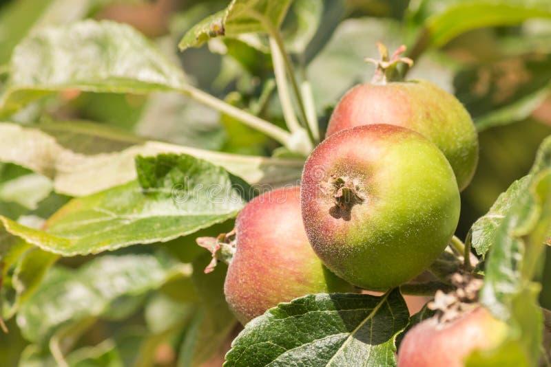 Unripe braeburn apples on apple tree royalty free stock photos