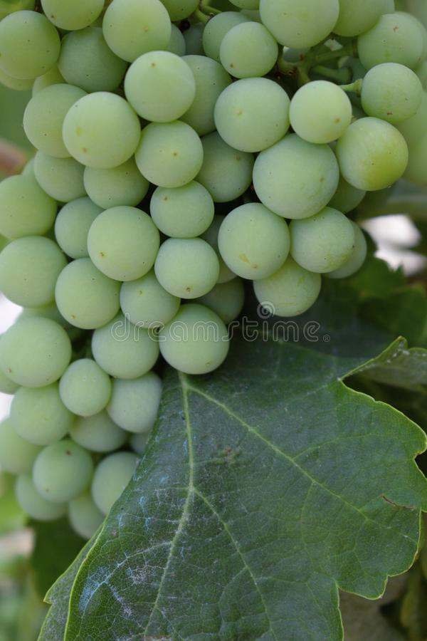 Green unripe compact bunch of grapes with leaf. Close-up shot. Agriculture cover. royalty free stock photos
