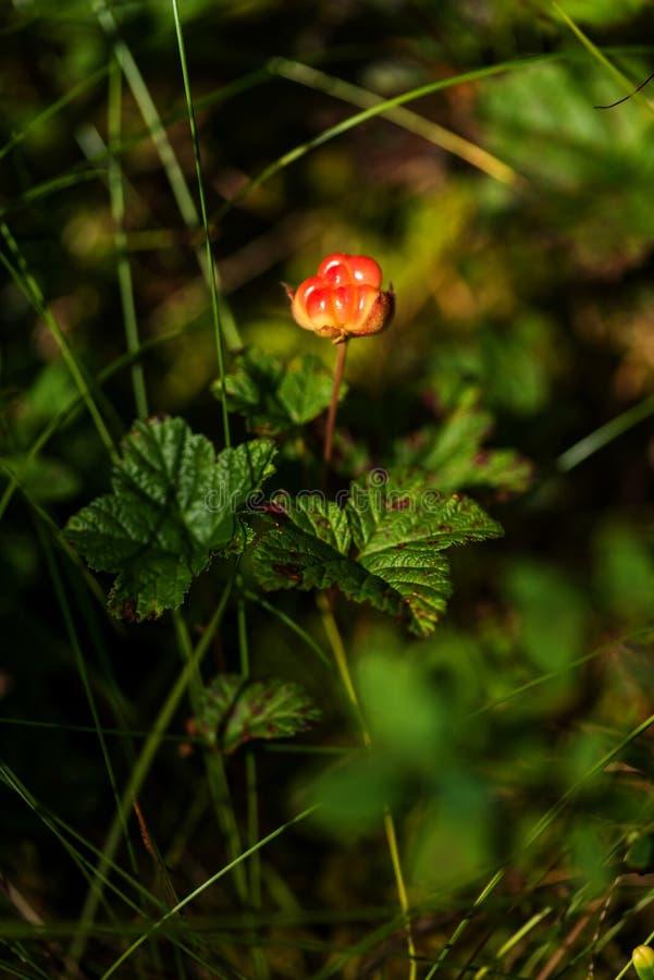 Unripe cloudberry in in a marsh. Unripe boreal cloudberry Rubus chamaemorus in a finnish marsh stock image