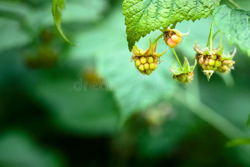 Unripe clusters of wild raspberry berries with dried buds on them close-up over summer juicy dark green foliage background royalty free stock photography