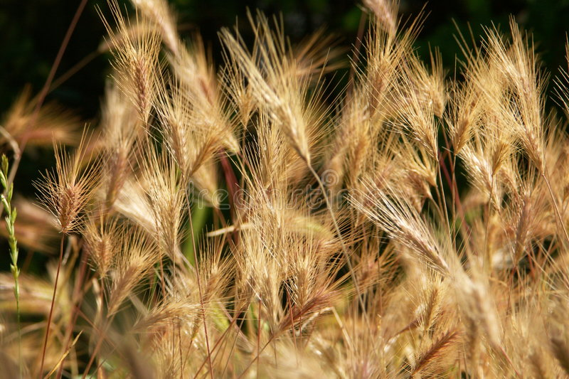 Unripe corn royalty free stock photography