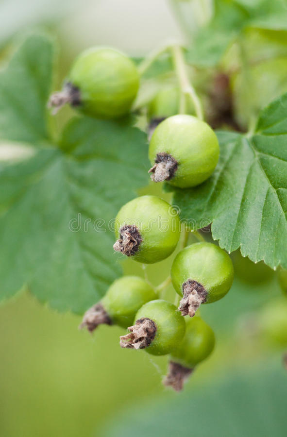 Unripe currant. Green unripe currant on bush stock images