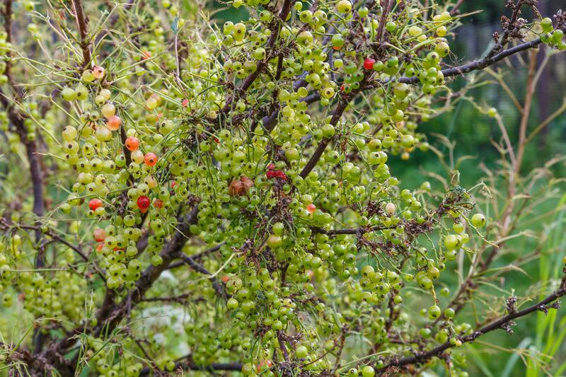 Unripe currant berries on a branch on a bush. Redcurrant royalty free stock images