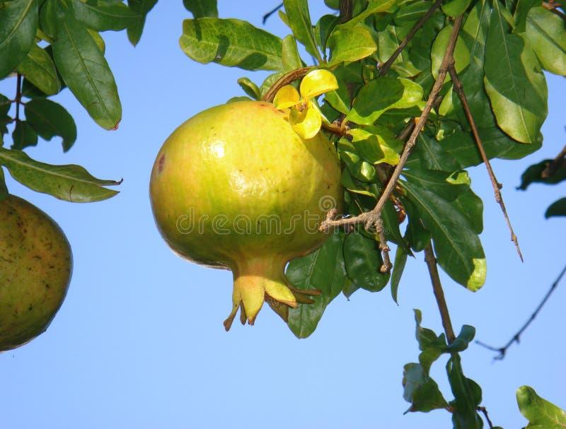 Unripe fruit of Punica granatum. Punica granatum branch with unripe pomegranate stock image
