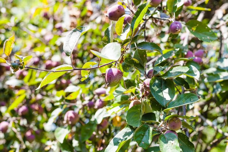 Unripe fruits on green branches of wild pear tree royalty free stock photos