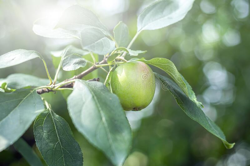 Unripe green apple on a branch in garden on a sunny day. Homegrown, gardening and agriculture consept. Natural vegetable organic. Food production. Backlight stock image