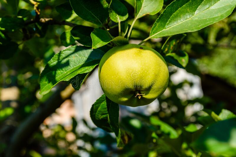 Unripe green apple on a branch of the apple tree. Unripe green apple on branch of apple tree royalty free stock photos