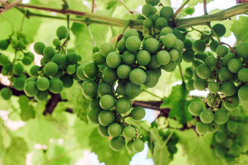 Unripe green bunches of grapes. stock image