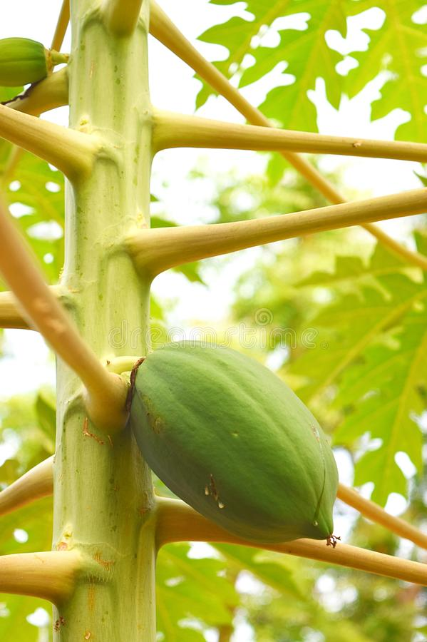 Unripe Green Papaya Fruit grown on Carica Papaya Plant along with Branches and Leaves - Natural Organic Nutrition - Agriculture royalty free stock image