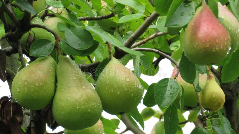 Unripe Pears on a Branch Covered with Rain Drops. royalty free stock photos