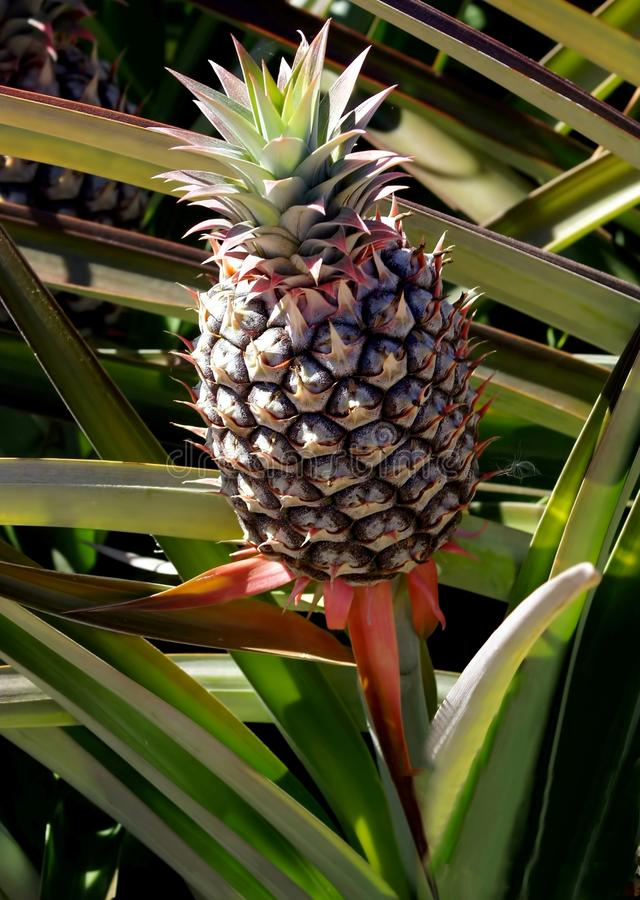 Unripe Green Pineapple in the field. An unripe Green Pineapple still in the field, waiting to mature before being harvested stock photos