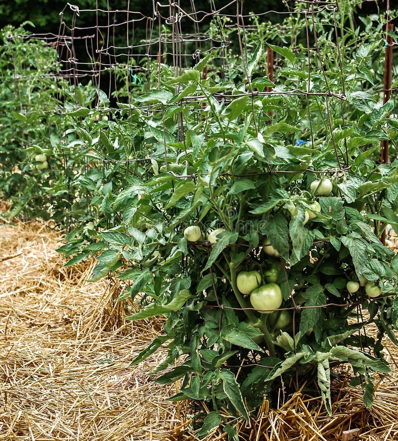 Unripe Green Tomatoes on Healthy Lush Plants Supported by Wire Cages. Unripe Green Tomatoes on Healthy Lush Plants in a Home Vegetable Garden. Tomato plants are stock image