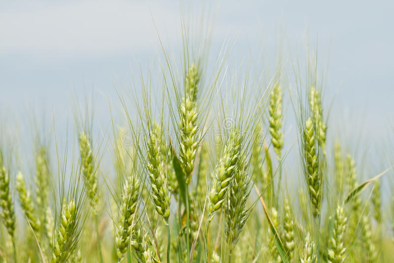 Download Unripe green wheat stock image. Image of agronomy, nutrition - 38512579