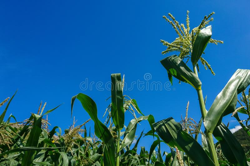 Unripe green young ears of corn in late summer in front of bright blue sky.  stock photos