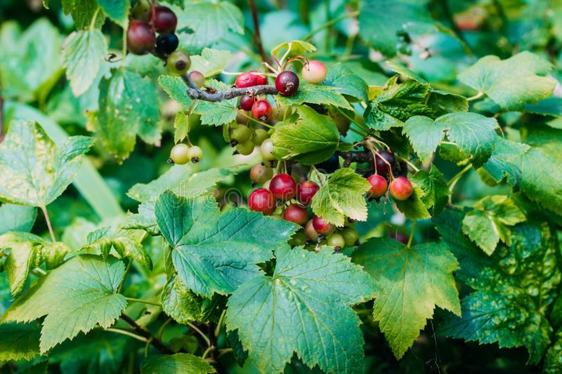 Unripe and mature black currant on a bush close-up. Vintage black currant in the garden stock photos
