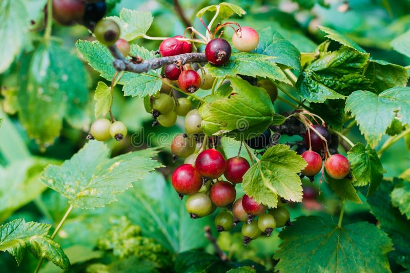 Unripe and mature black currant on a bush close-up. Vintage black currant in the garden royalty free stock photo