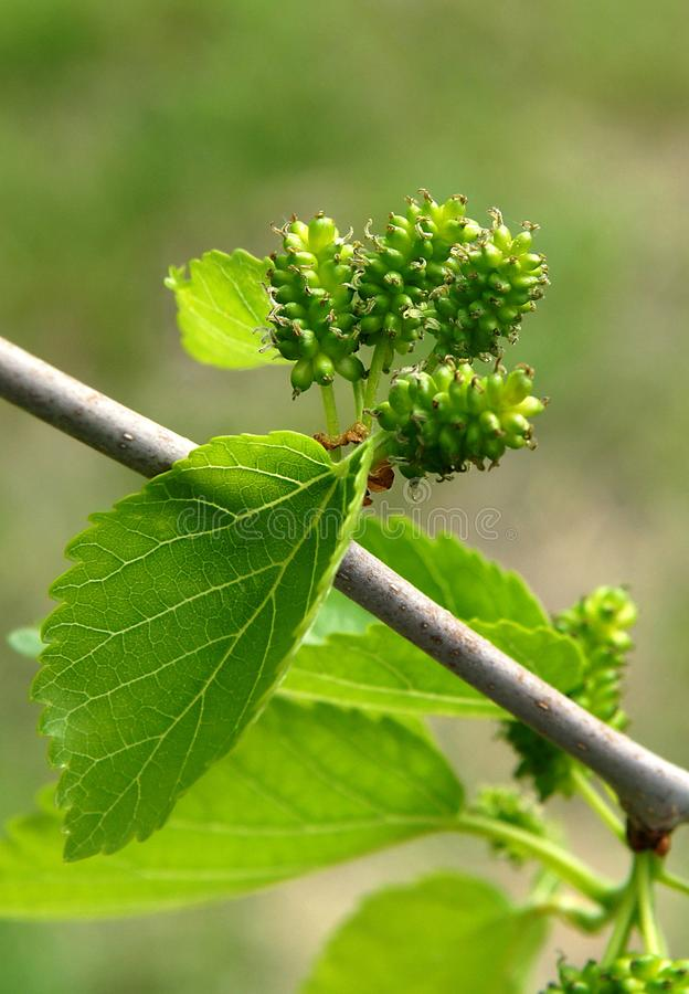 Unripe mulberry fruits. Young unripe mulberry fruits in the spring stock photos