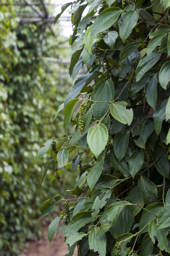 Unripe pepper drupes on woody vines. Scene of Kampot province, Cambodia royalty free stock images