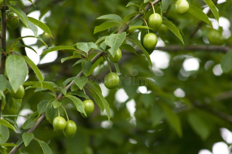 Unripe plum stock photos