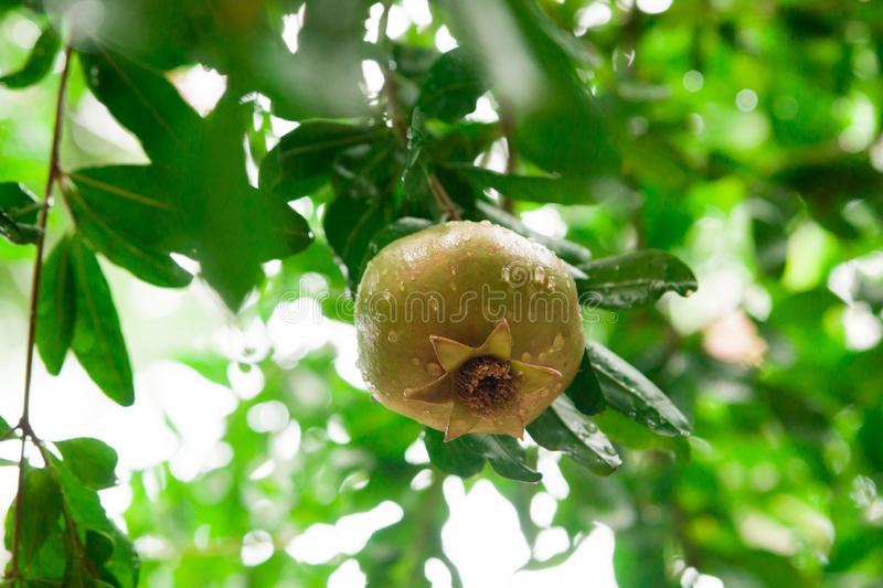 Unripe pomegranate hanging on a tree after rain stock image